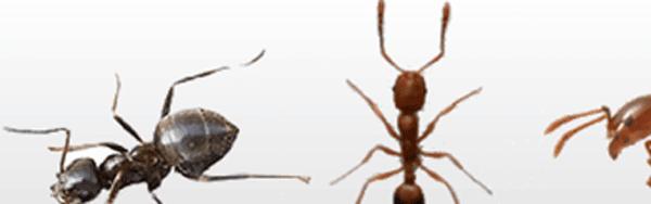Species of ants